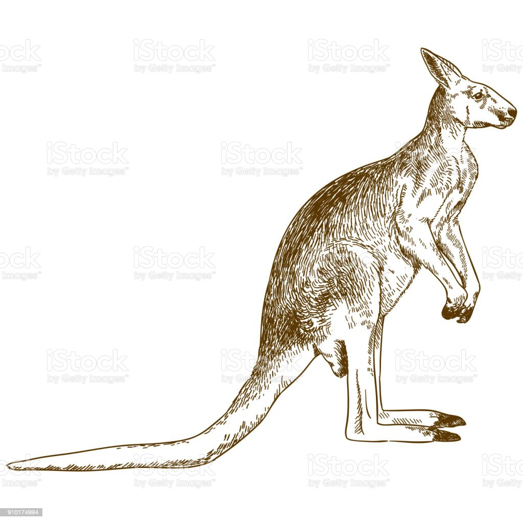 engraving drawing illustration of big kangaroo