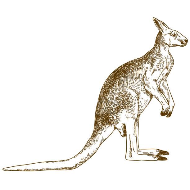 engraving drawing illustration of big kangaroo Vector antique engraving drawing illustration of big kangaroo isolated on white background kangaroo stock illustrations