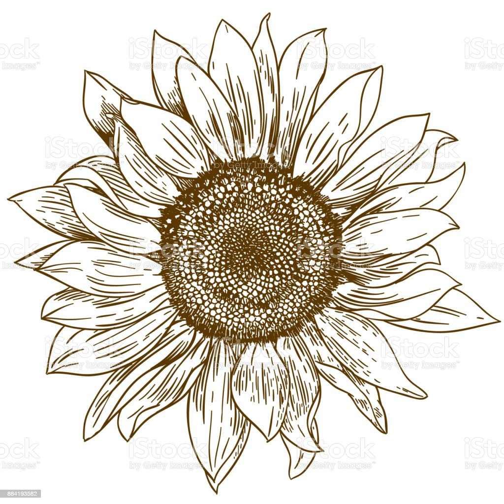 engraving drawing illustration of big sunflower