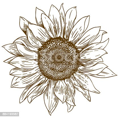 istock engraving drawing illustration of big sunflower 884193582