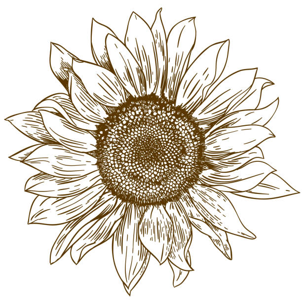Engraving Drawing Illustration Of Big Sunflower Vector Art