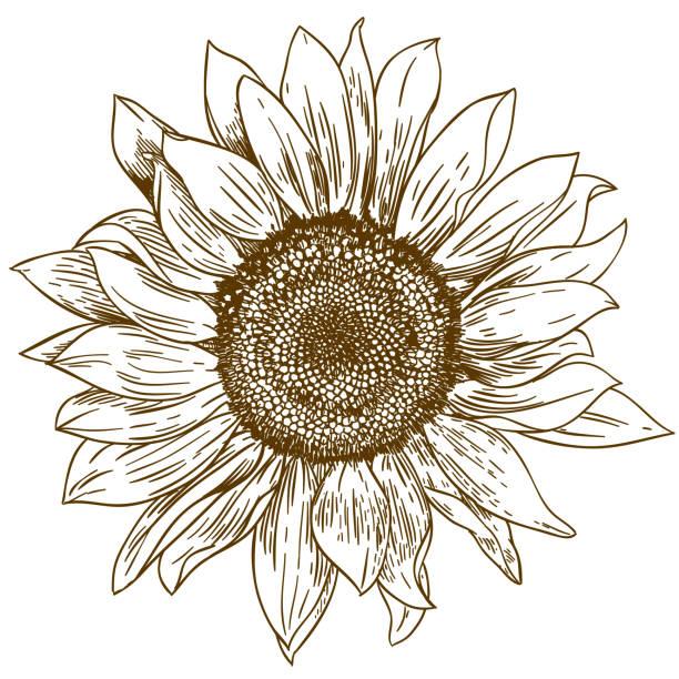 Engraving Drawing Illustration Of Big Sunflower Vector Art