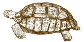 engraving drawing illustration of big turtle
