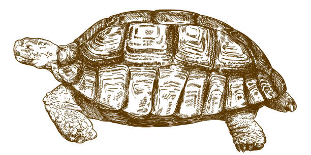 engraving drawing illustration of big turtle Vector antique engraving drawing illustration of big turtle isolated on white background turtle stock illustrations