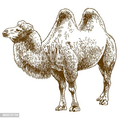 Vector antique engraving drawing illustration of camel isolated on white background