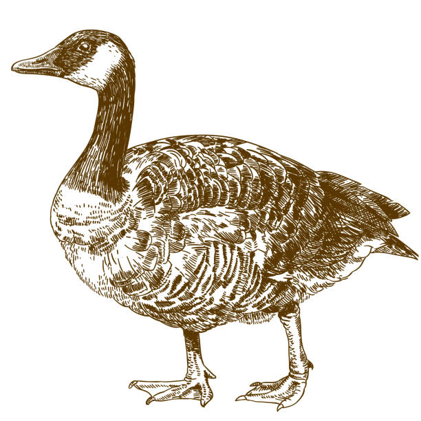 engraving drawing illustration of canada goose Vector antique engraving drawing illustration of canada goose isolated on white background canada goose stock illustrations