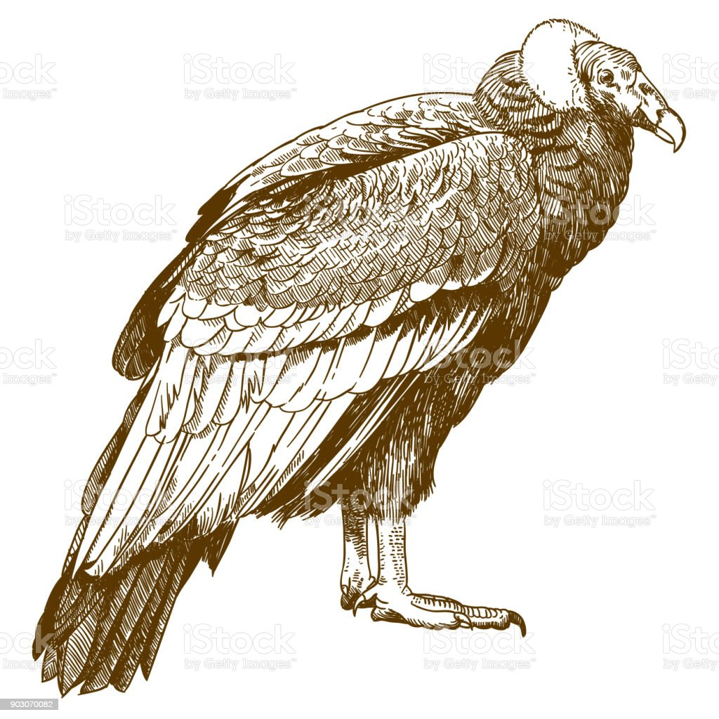 engraving drawing illustration of condor vector art illustration