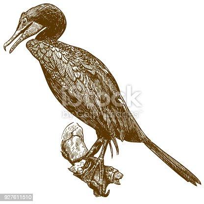 istock engraving drawing illustration of cormorant 927611510