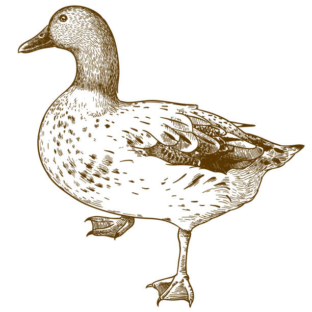 engraving drawing illustration of duck bird Vector antique engraving drawing illustration of duck bird isolated on white background drake male duck stock illustrations