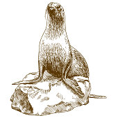 Vector antique engraving drawing illustration of female sea lion isolated on white background