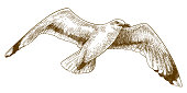 engraving drawing illustration of flying gull
