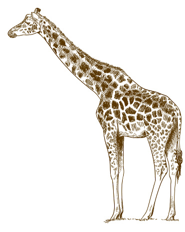 Vector antique engraving drawing illustration of giraffe on white background