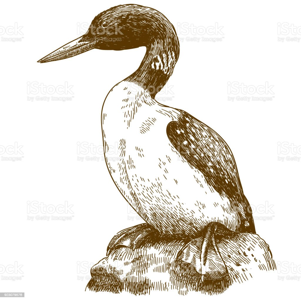 engraving drawing illustration of great northern loon stock vector