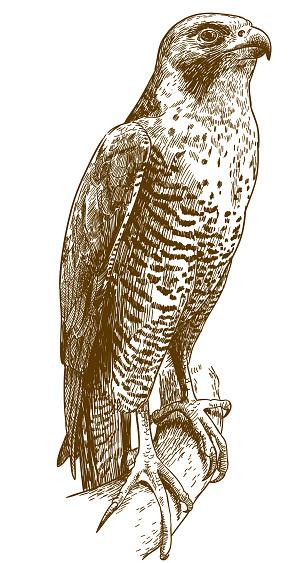engraving drawing illustration of hawk