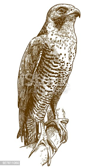 Vector antique engraving drawing illustration of hawk isolated on white background