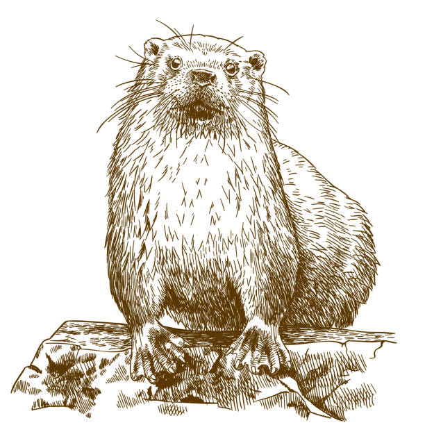 engraving drawing illustration of otter - otter stock illustrations, clip art, cartoons, & icons