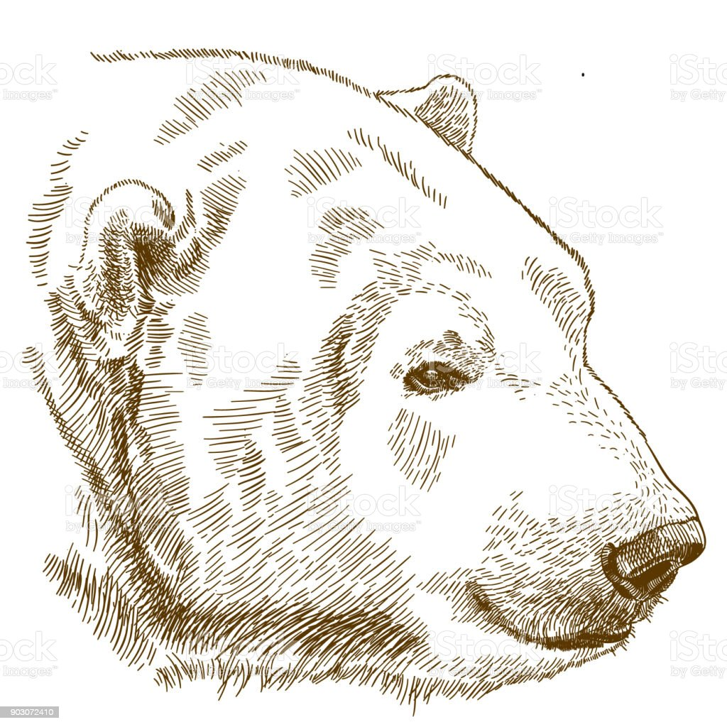 engraving drawing illustration of polar bear head vector art illustration