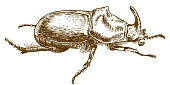 engraving drawing illustration of rhinoceros beetle