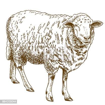 istock engraving drawing illustration of sheep 884203044
