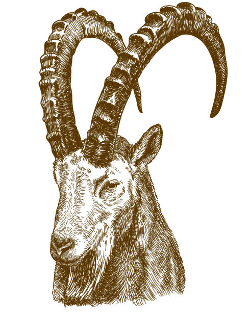 engraving drawing illustration of siberian ibex Vector antique engraving drawing illustration of siberian ibex isolated on white background stuffed stock illustrations