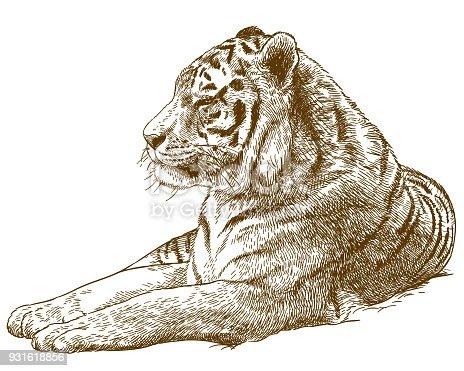 engraving drawing illustration of siberian tiger amur tiger