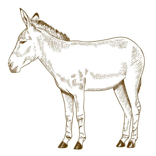 engraving drawing illustration of somali wild ass Vector antique engraving drawing illustration of somali wild ass isolated on white background mule stock illustrations