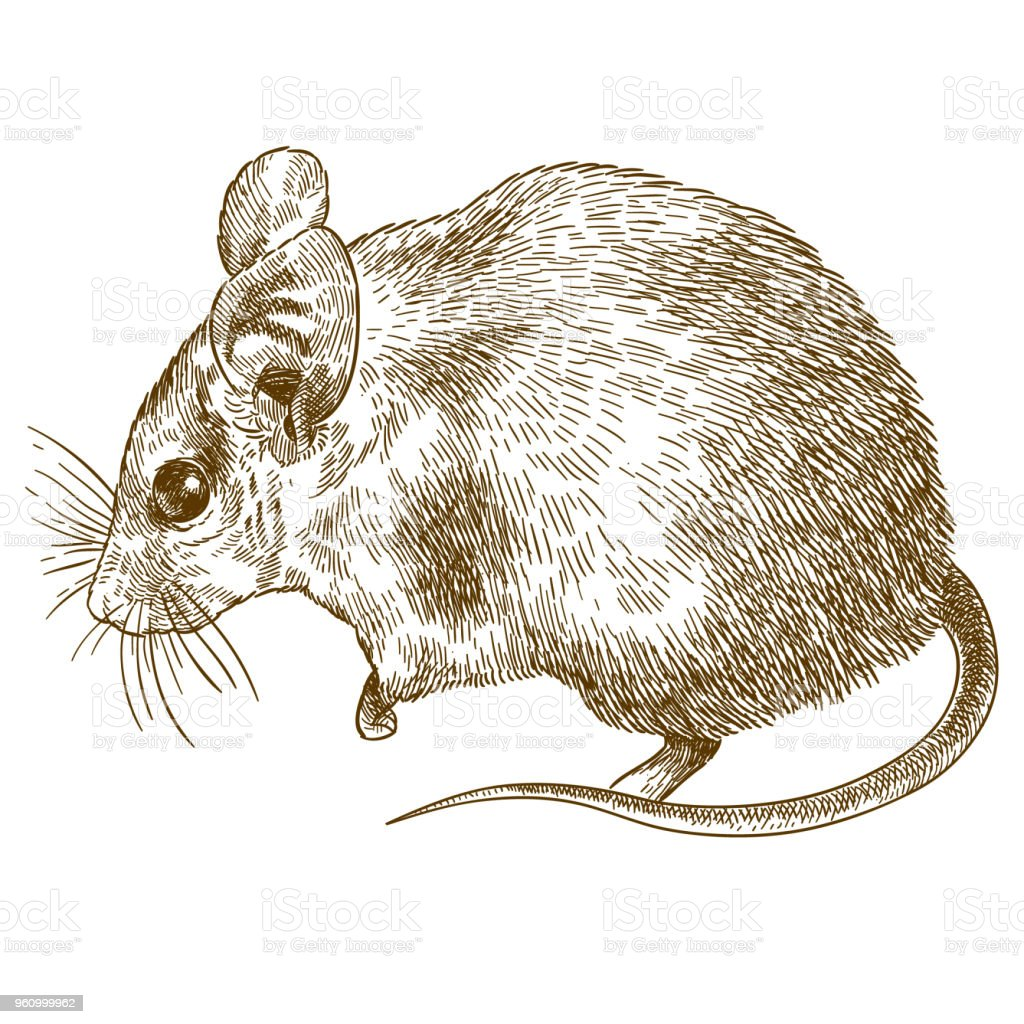 engraving drawing illustration of spiny mouse vector art illustration