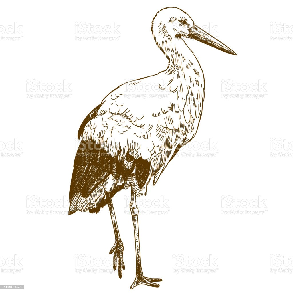 engraving drawing illustration of stork
