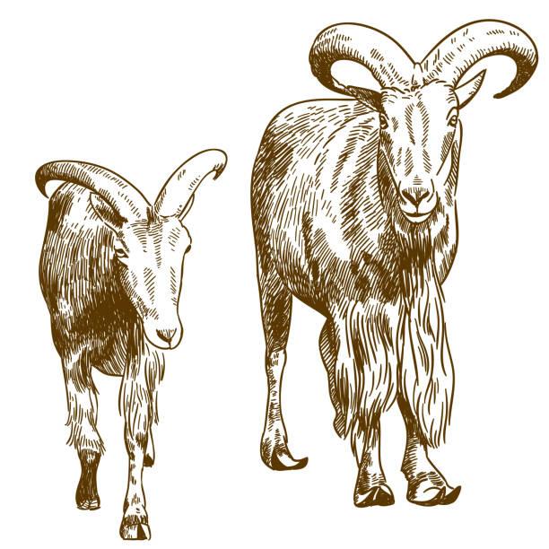 gravur zeichnung illustration zwei bergziegen - bergziegen stock-grafiken, -clipart, -cartoons und -symbole