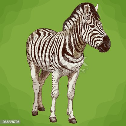 Vector antique engraving illustration of african zebra in retro style