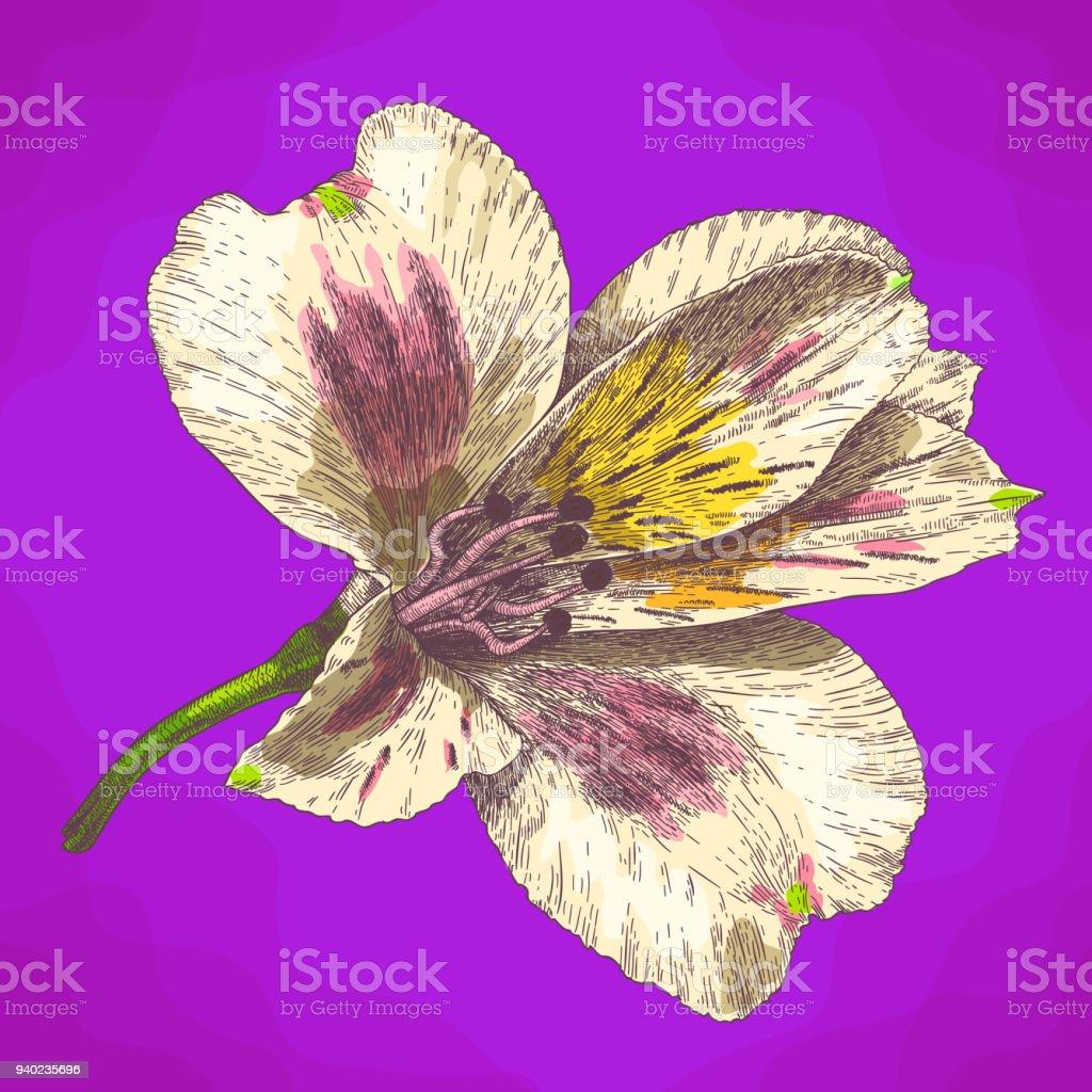 Ilustración de flor de alstroemeria de grabado en estilo retro - ilustración de arte vectorial