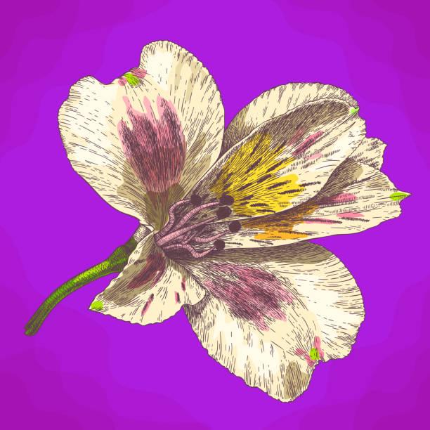 gravur abbildung alstroemeria blume im retro-stil - inkalilie stock-grafiken, -clipart, -cartoons und -symbole
