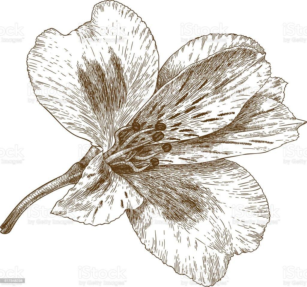 Alstroemeria ilustración de grabado de flores - ilustración de arte vectorial