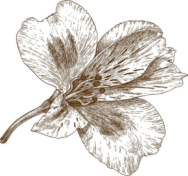 gravur abbildung eines inkalilie blume - inkalilie stock-grafiken, -clipart, -cartoons und -symbole