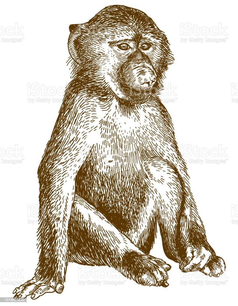 engraving illustration of baboon cub vector art illustration