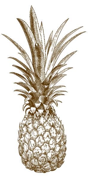 engraving illustration of baby pineapple