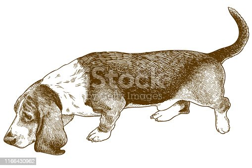 Vector antique engraving illustration of dog basset hound isolated on white background