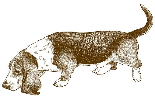 engraving illustration of basset hound