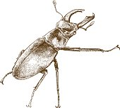 engraving illustration of beetle deer