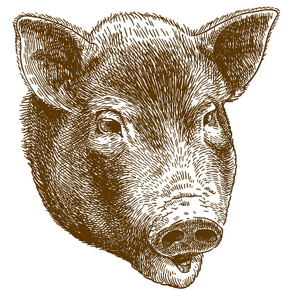engraving illustration of big pig head