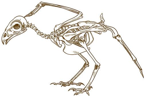grabado de la ilustración del esqueleto del pájaro