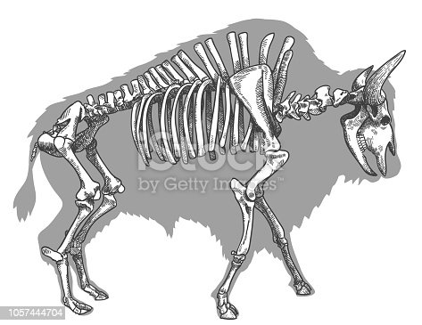 Vector antique engraving drawing illustration of bison skeleton isolated on white background