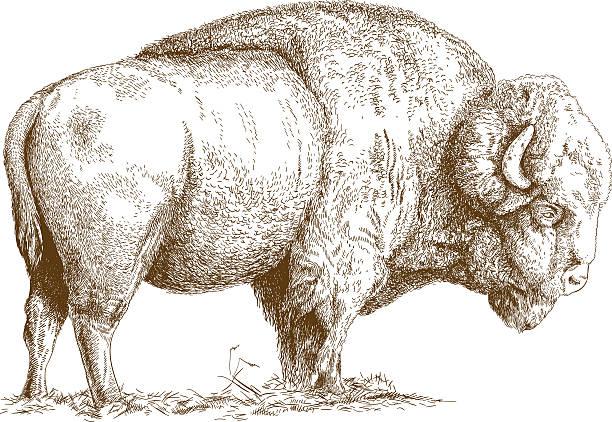 engraving  illustration of bison Vector antique engraving illustration of bison isolated on white background american bison stock illustrations