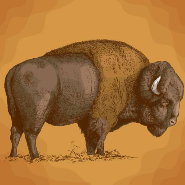 engraving  illustration of bison Vector antique engraving illustration of bison in retro style american bison stock illustrations