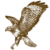 Vector antique engraving drawing illustration of buzzard bird isolated on white background