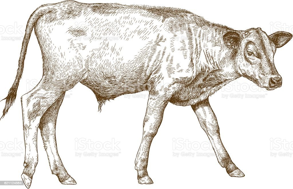 engraving  illustration of calf vector art illustration