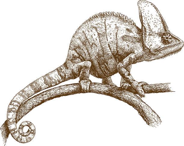 engraving illustration of chameleon - chameleon stock illustrations