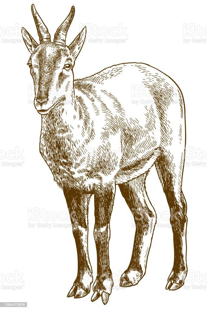 illustration de la gravure de chinois goral - Illustration vectorielle