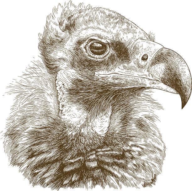 stockillustraties, clipart, cartoons en iconen met engraving  illustration of cinereous vulture - aas eten