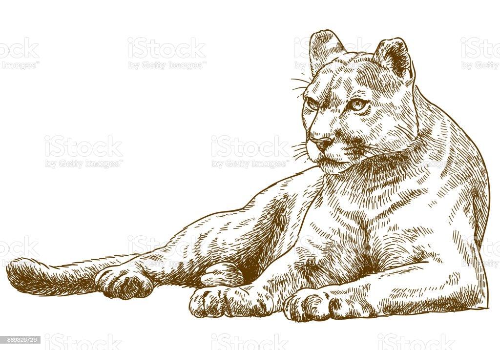 engraving illustration of cougar